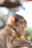 Cute baby monkey with a dummy Royalty Free Stock Photo