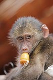 Cute baby monkey with a dummy Stock Image