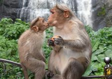 Cute Baby Monkey Kiss Mother Monkey royalty free stock image