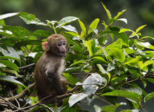 Cute Baby Monkey. A cute baby monkey siting on the branch, eating leaves Royalty Free Stock Photo