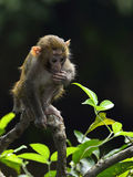 A Cute Baby Monkey is Sitting on the Branch. A cute baby monkey sitting on the branch, looking at the leaves Royalty Free Stock Photography