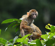 Cute Baby Monkey. A cute baby monkey standing on the branch, turning round Royalty Free Stock Photos