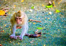 Monkey is eating a banana. In the forest royalty free stock image