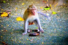 Monkey is eating a banana. In the forest royalty free stock photography
