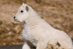 Cute Baby Mountain Goat. A cute side view of a curious baby mountain goat royalty free stock images