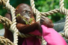Cute baby orangutan Royalty Free Stock Photography