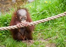 Cute baby orangutan. Holding a rope in the grass Royalty Free Stock Images