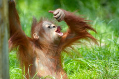Cute baby orangutan. Playing on the grass Stock Image