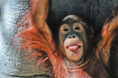 Cute baby orangutan Royalty Free Stock Image