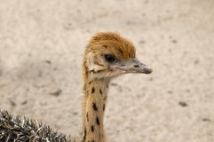 Cute Baby Ostrich Stock Photography