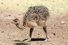 Cute Baby Ostrich stock images