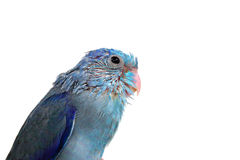 Cute Baby Pacific Parrotlet, Forpus coelestis, perched against Royalty Free Stock Photo