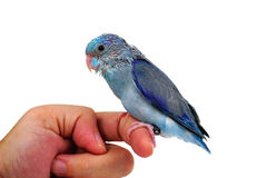 Cute Baby Pacific Parrotlet, Forpus coelestis, perched against Royalty Free Stock Photos