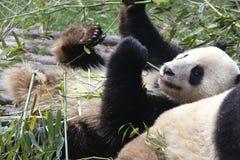 Cute baby panda. Enjoying his breakfast Stock Image