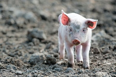 Cute baby pig. Young happy baby pig with ear tag walking towards the camera stock image