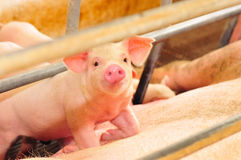 Cute Baby Piglet. Adorable Piglet at a pig farm Stock Image