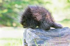 Cute baby porcupine Stock Photography
