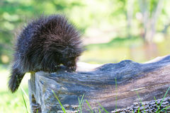 Cute baby porcupine walking on log. Cute baby porcupine walking on a log during springtime Royalty Free Stock Images