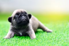 Cute baby Pug. On grass, close up royalty free stock photos