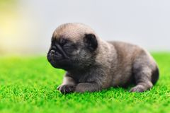Cute baby Pug. On grass, close up royalty free stock photography