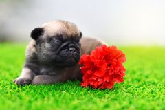Cute baby Pug sleeping on grass. With flower, close up royalty free stock photography