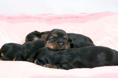 Cute baby puppies sleeping  Stock Image