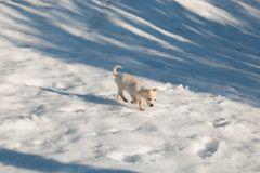 Cute baby puppy dog walking in the snow. Portrait of cute baby puppy dog walking in the snow Stock Photography