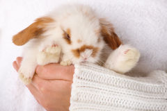 Cute baby rabbit. On hand Royalty Free Stock Photography