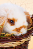 Cute baby rabbit Royalty Free Stock Image