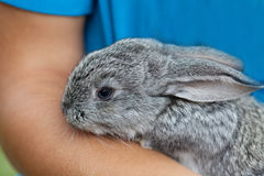 Cute baby rabbit in hand. Fluffy gray bunny texture skin. soft focus, shallow depth of field Stock Images
