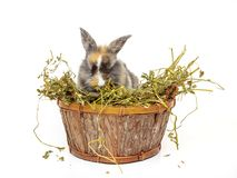 Cute baby rabbit in a wooden basket with dry grass. Cute baby rabbit in wooden basket with dry grass stock images