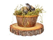 Cute baby rabbit in a wooden basket with dry grass. Cute baby rabbit in wooden basket with dry grass stock photos