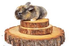 Cute baby rabbit on wooden saw cut pine. Cute baby rabbit on a wooden saw cut pine royalty free stock photo