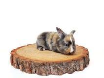 Cute baby rabbit on wooden saw cut pine. Cute baby rabbit on a wooden saw cut pine stock photos