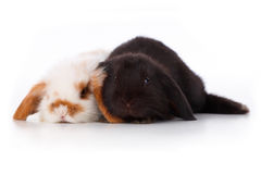 Cute baby rabbits. Over white background Stock Image