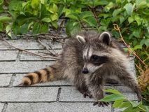 An adorable baby raccoon stuck on a roof. A cute baby raccoon on a light gray shingled roof with foliage in the background stock photography