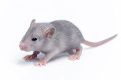 Cute baby rat Stock Photo