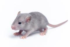 Cute baby rat Stock Photo