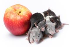 Cute baby rats Royalty Free Stock Photos
