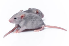 Cute baby rats Stock Image