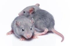Cute baby rats Royalty Free Stock Photo