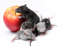 Cute baby rats Royalty Free Stock Images