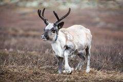 Cute baby reindeer getting up in northern Mongolia. Royalty Free Stock Photography