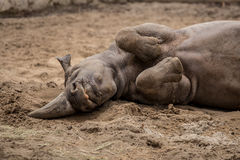 Cute baby rhino cuddling at zoo in Berlin. Germany stock image