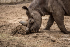 Cute baby rhino playing at zoo in Berlin. Germany royalty free stock photo
