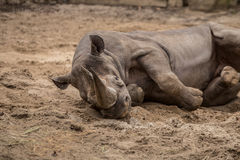 Cute baby rhino playing at zoo in Berlin. Germany stock photos