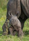 Small Baby White Rhino stock image