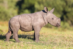 Cute Baby Rhino. Cute baby white rhinoceros with ears pricked and alert stock images