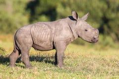 Cute Baby Rhino stock images