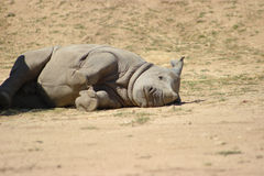 Cute Baby Rhino. Baby White Rhinoceros lying on the side stock images